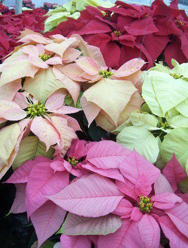 Greenhouse Flower Fields Winter Rose ™ y Peppermint Twist ™