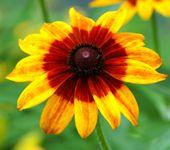 Picture of gloriosa daisy.
