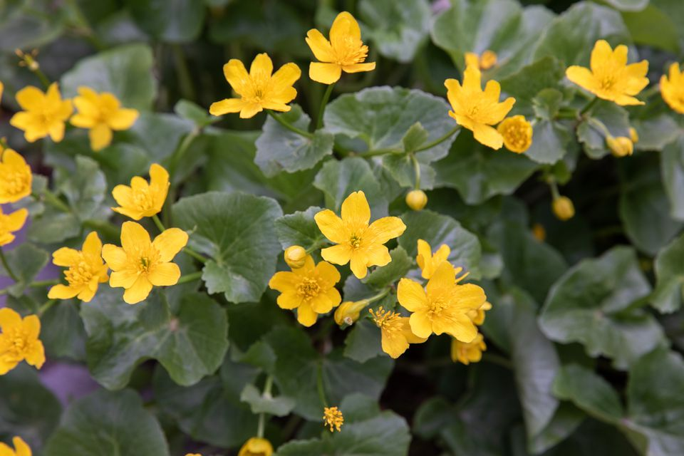 Marsh marigold flowers with yellow sepals and buds