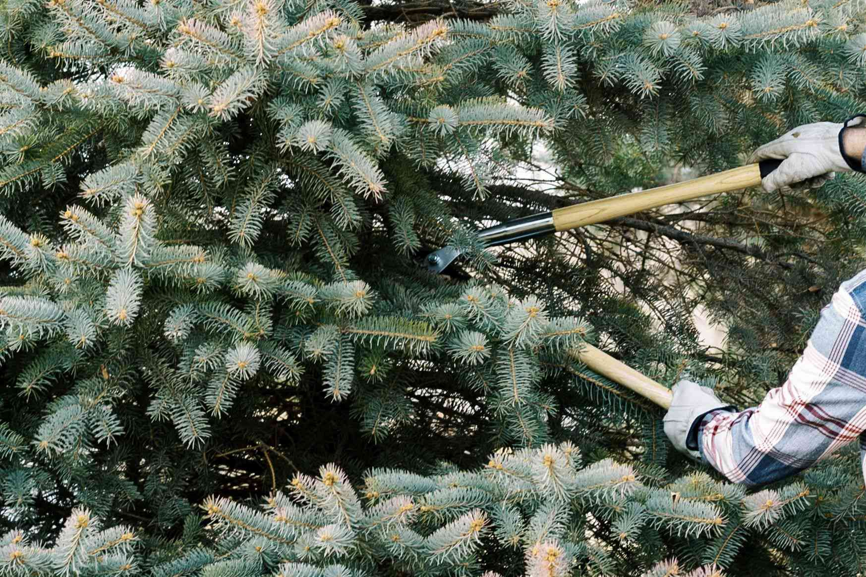 Evergreen tree branches with short needles being pruned with hand-held sheers