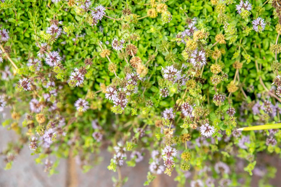 Pennyroyal plant with vibrant green leaves and tight purple blooms on thin stems from above