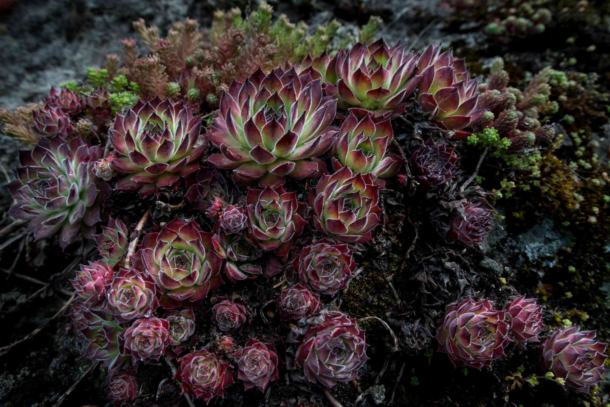 A group of Sempervivums with dark-tipped foliage.