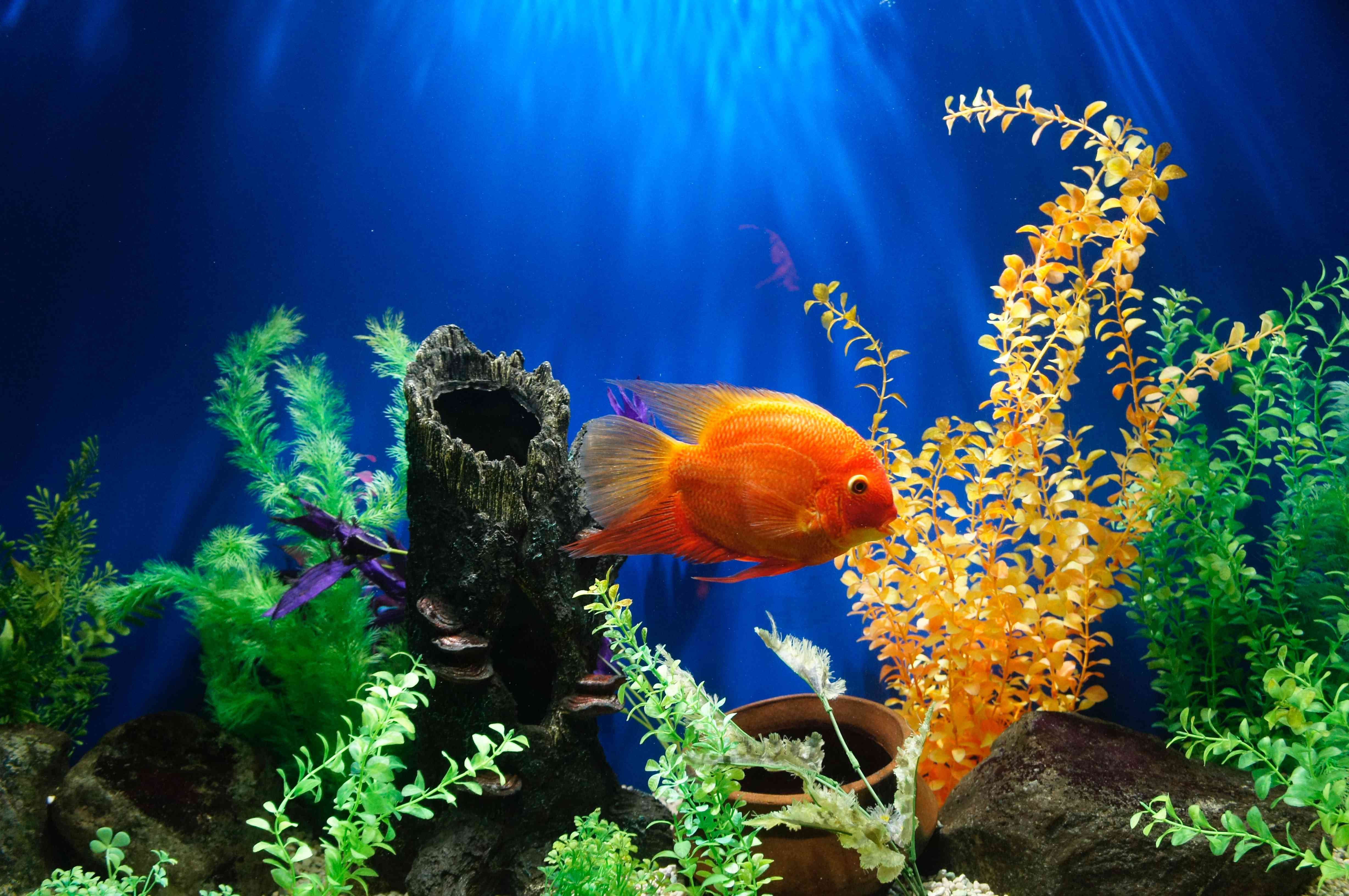 goldfish in an aquarium with colorful plants