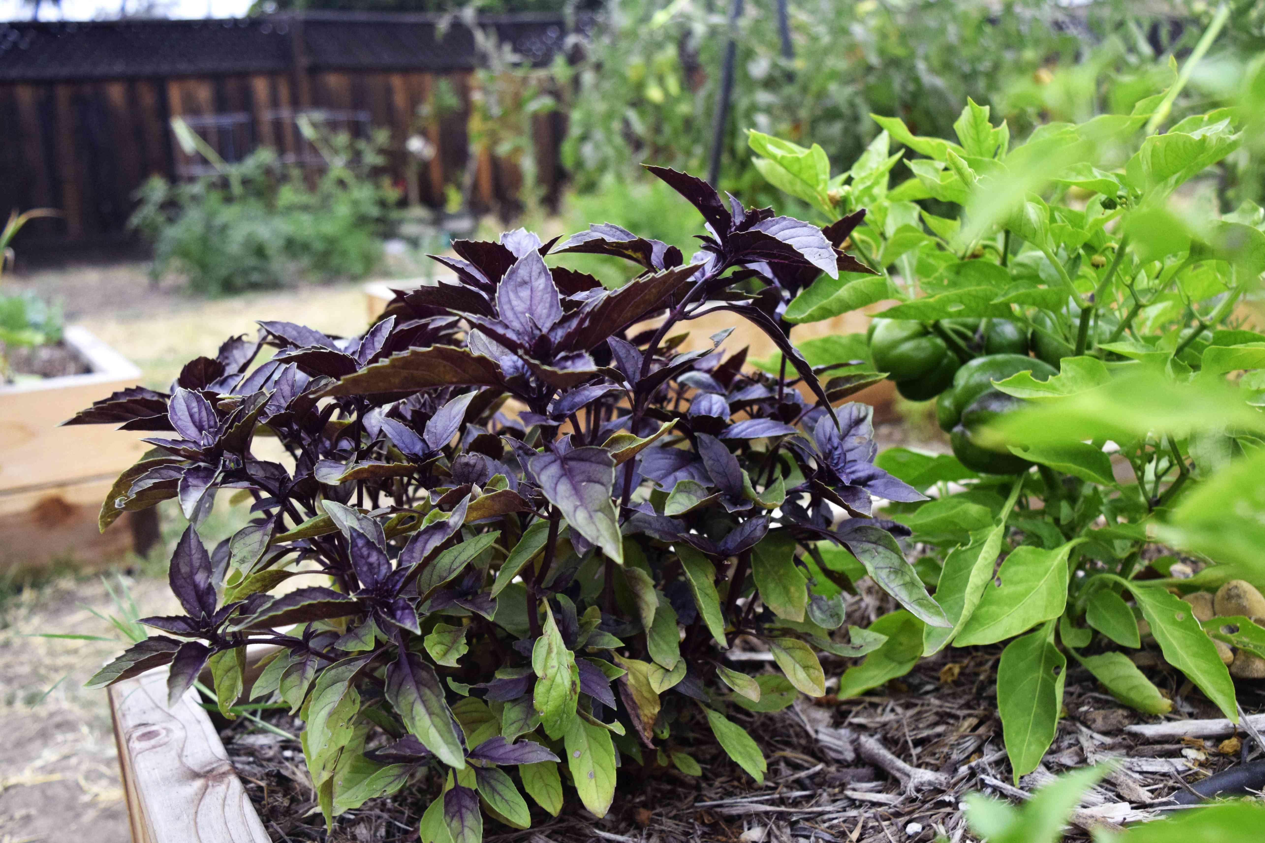 Black Opal Basil Plant Growing