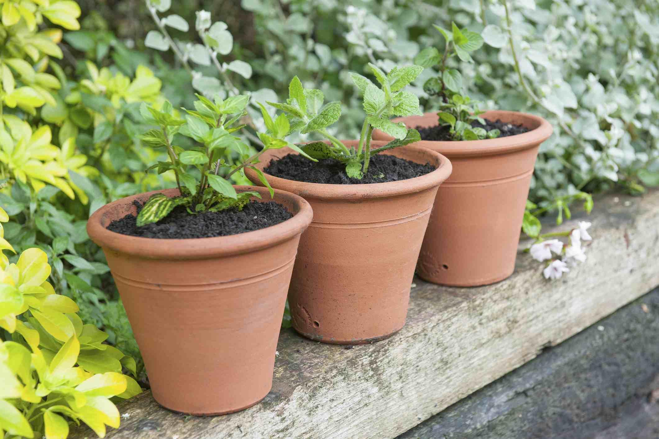 Potted mint plants