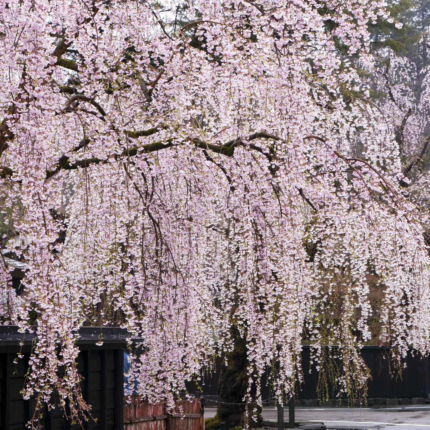 Weeping Cherry Trees The Best Cascading Faves