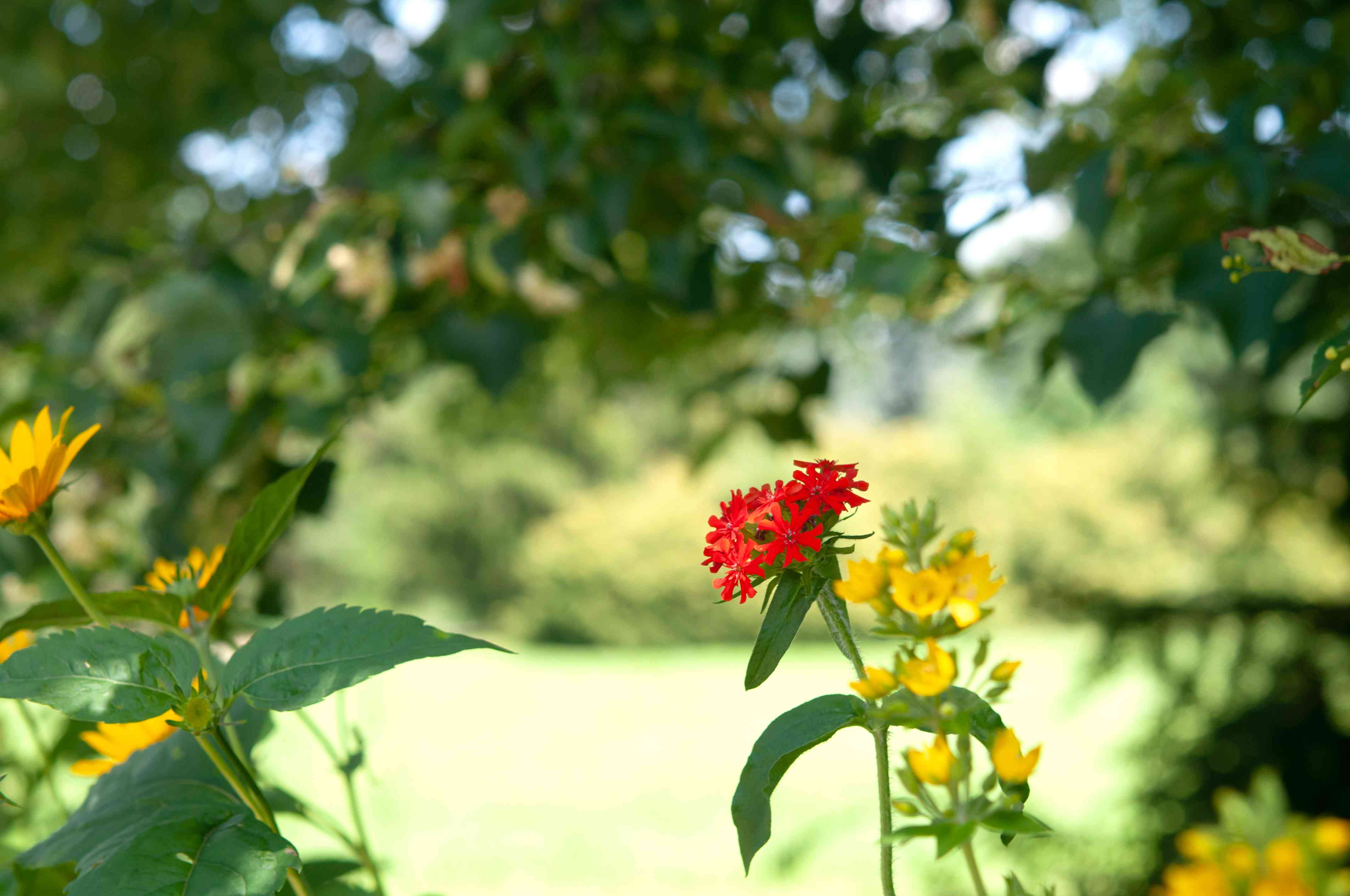 Maltese crown plant with single thin stem and red flower cluster in middle of yellow wildflowers