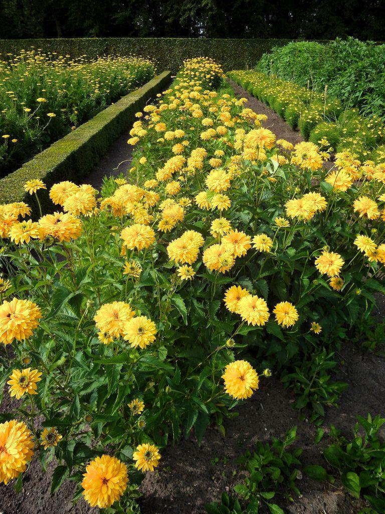 13 plants with daisy like flowers izmirmasajfo