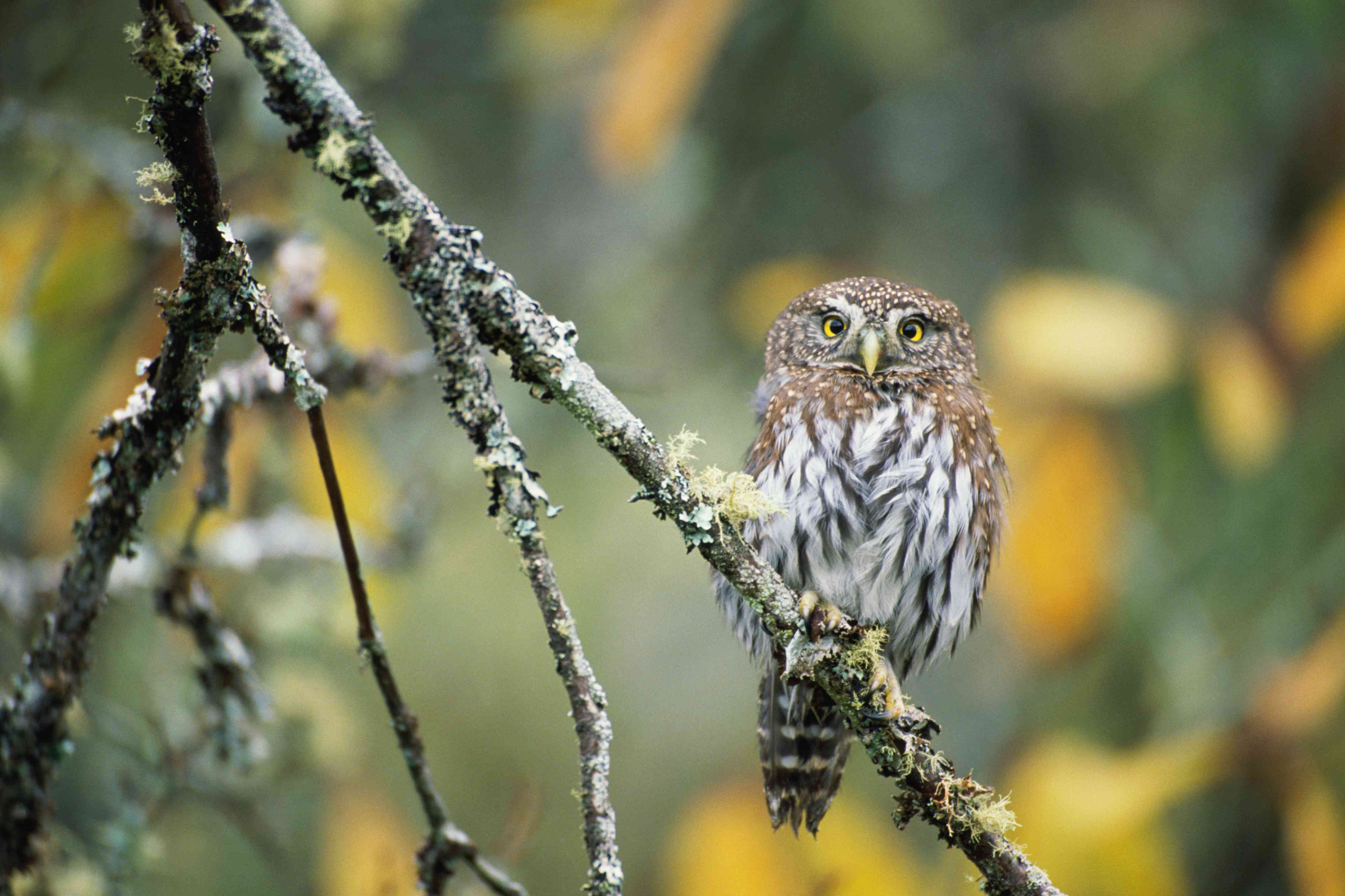 Northern pygmy-owl (Glaucidium gnoma) on tree branch, Washington