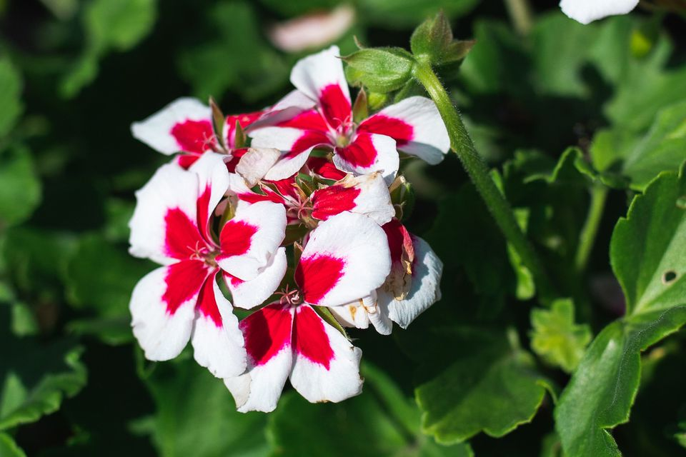 variegated geranium flowers