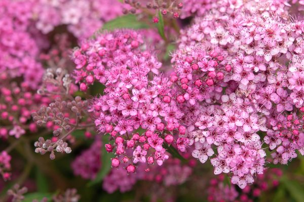 Spirea shrub with pink flowers closeup