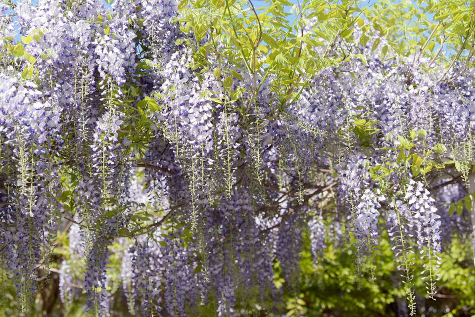Japanese wisteria 'multijuga' tree with violet flowers hanging from vines with bright green leaves