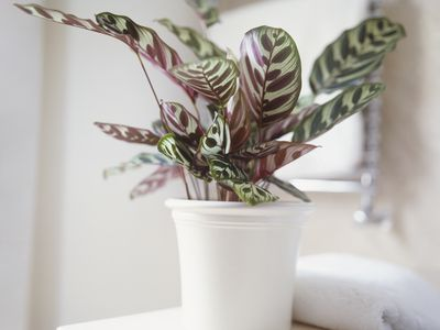 How to Grow and Care for Nerve Plant (Fittonia)