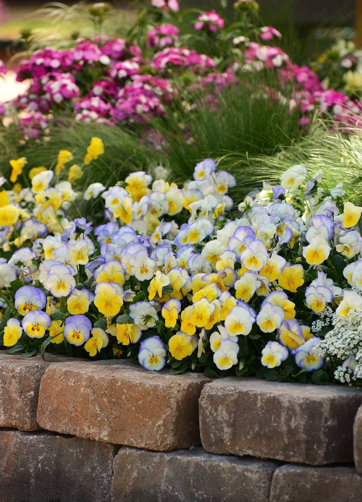 14 pretty and unusual pansy varieties mightylinksfo