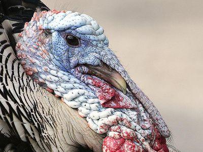 Wild Turkey Portrait With Snood