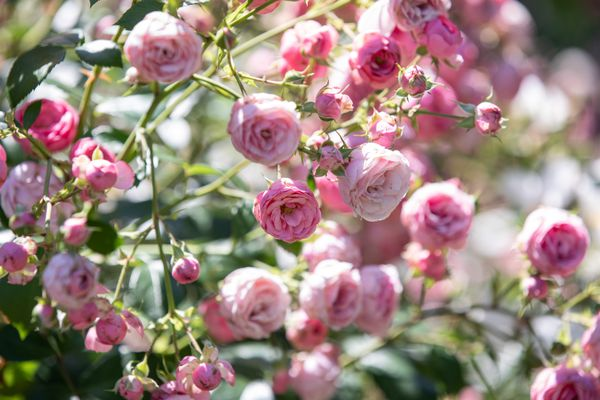 Small pink roses and buds on thin stems closeup