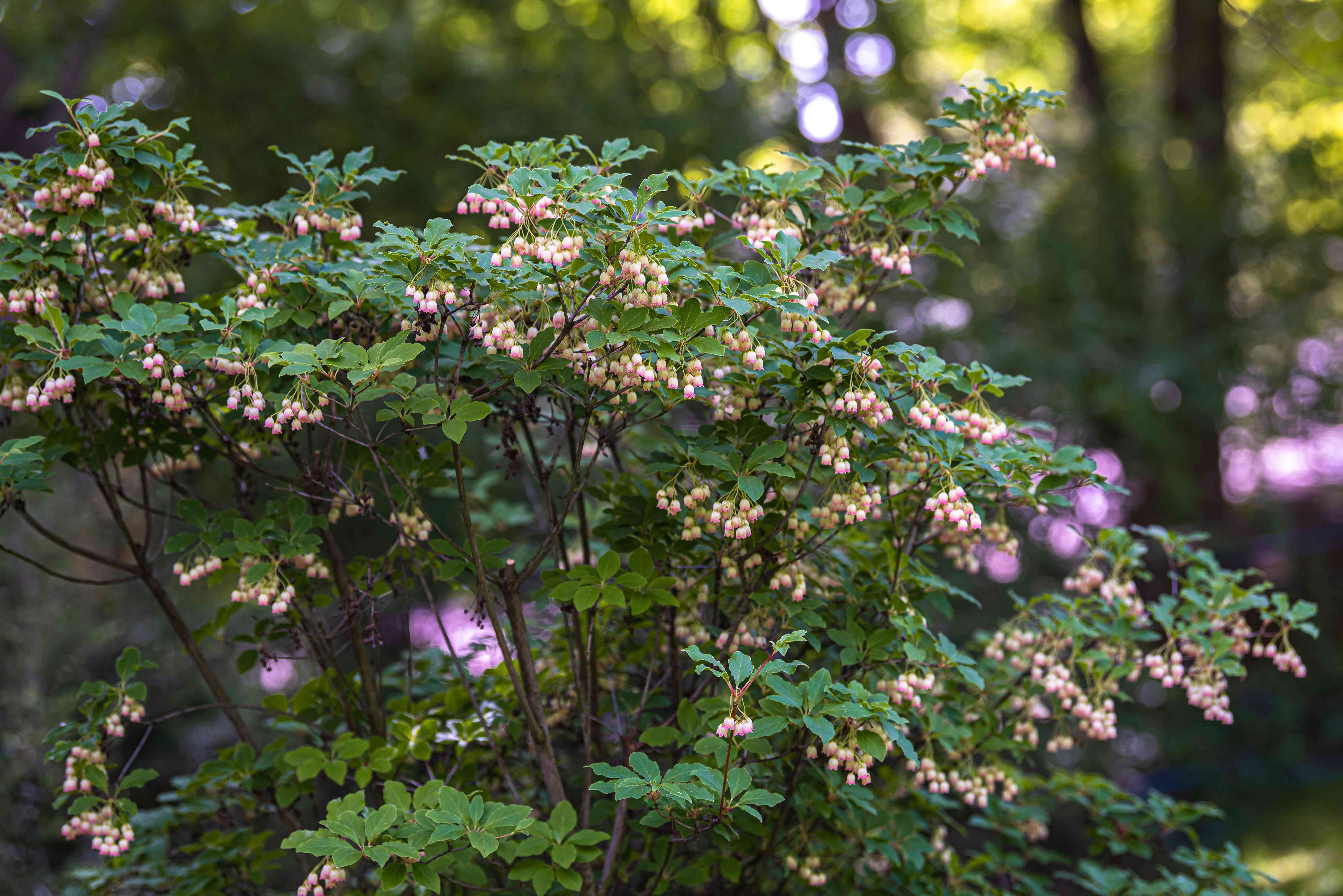 Red vein enkianthus shrub with thin branches and small green leaves surrounding small white flowers