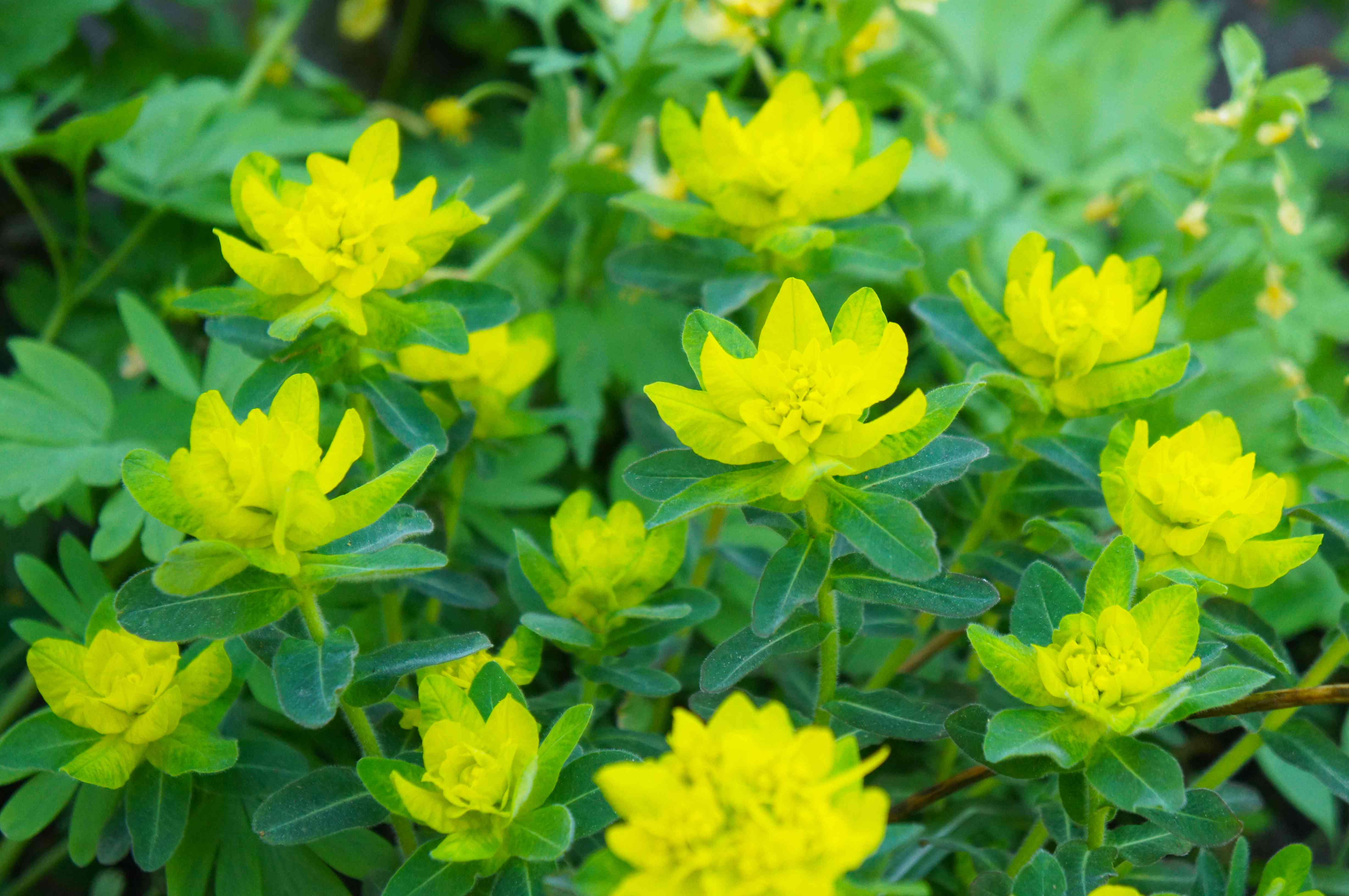 Euphorbia polychroma or cushion spurge green and yellow plant