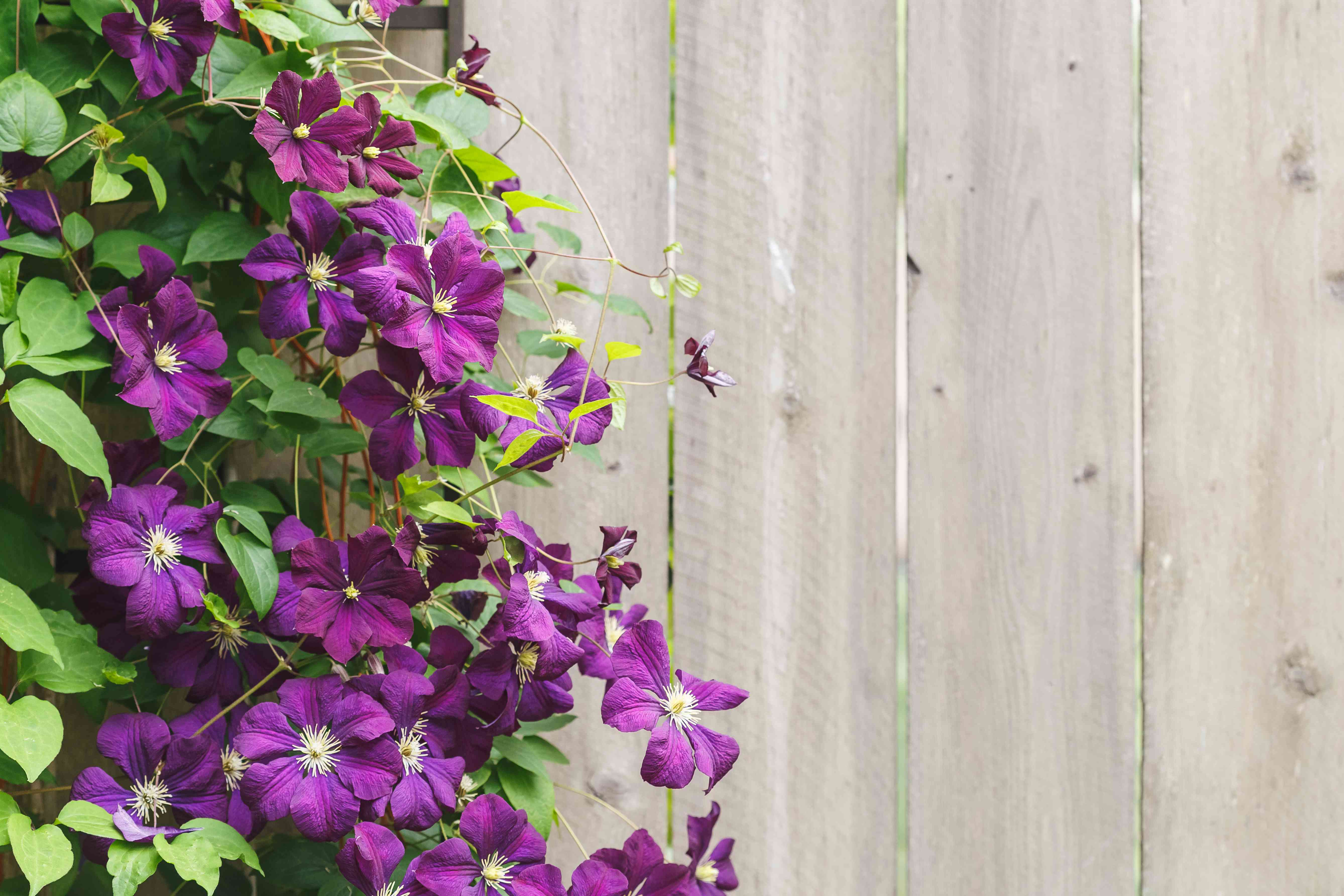 Violet Clematis Flowers with copy space
