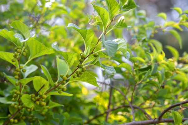 Oriental bittersweet weed vines with small green berries and light green leaves
