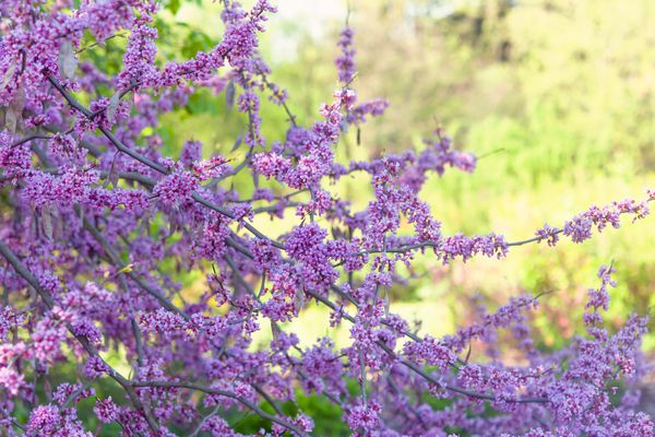 Eastern redbud tree with long thin branches and small pink flowers in the shade