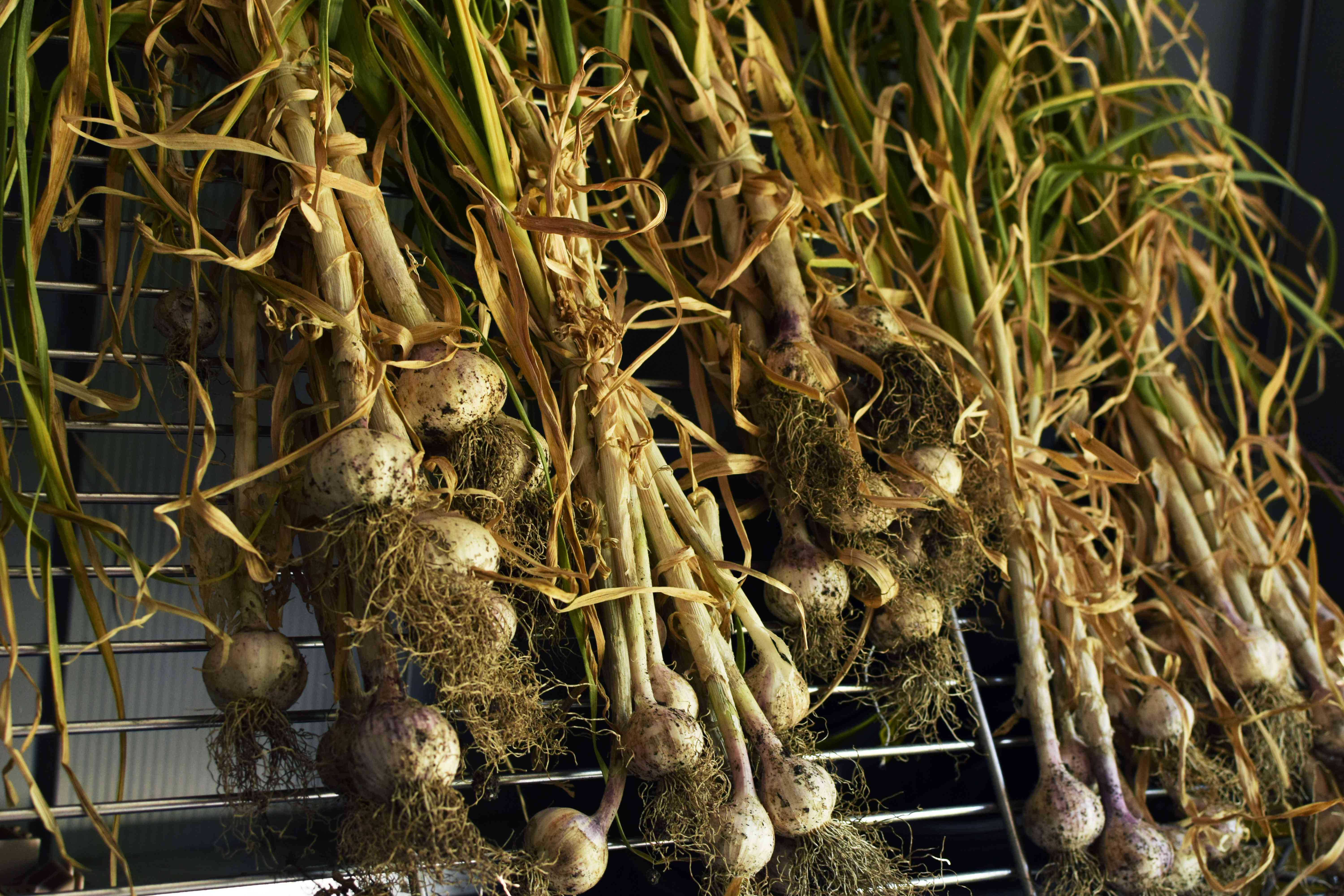 Harvested garlic plants cured on metal rack with stalks and roots