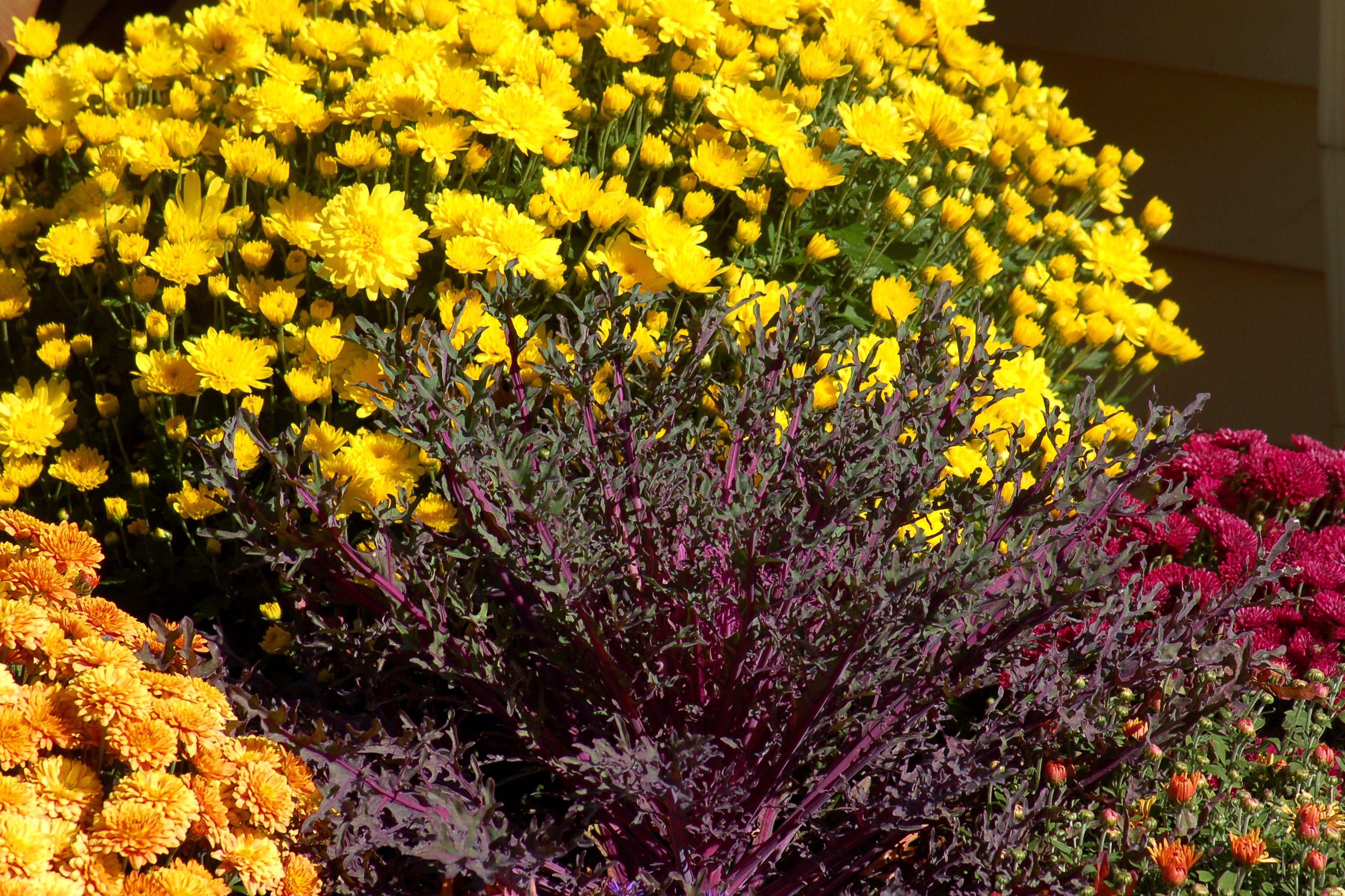Chrysanthemums And Hardy Mums