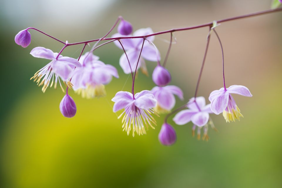 Meadow Rue displays purple, yellow, pink, or white blooms in late summer.