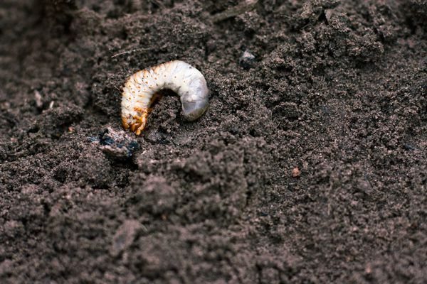 Lawn grub in soil
