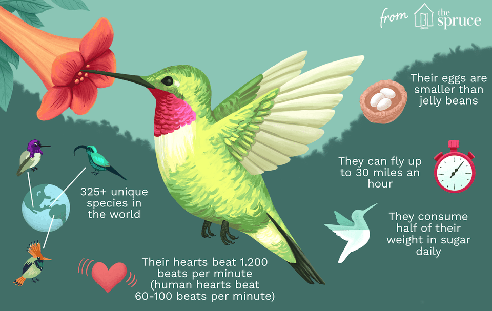facts about hummingbirds illustration