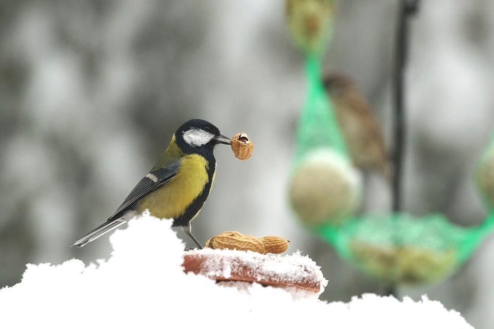 Un carbonero comiendo un maní en la nieve.