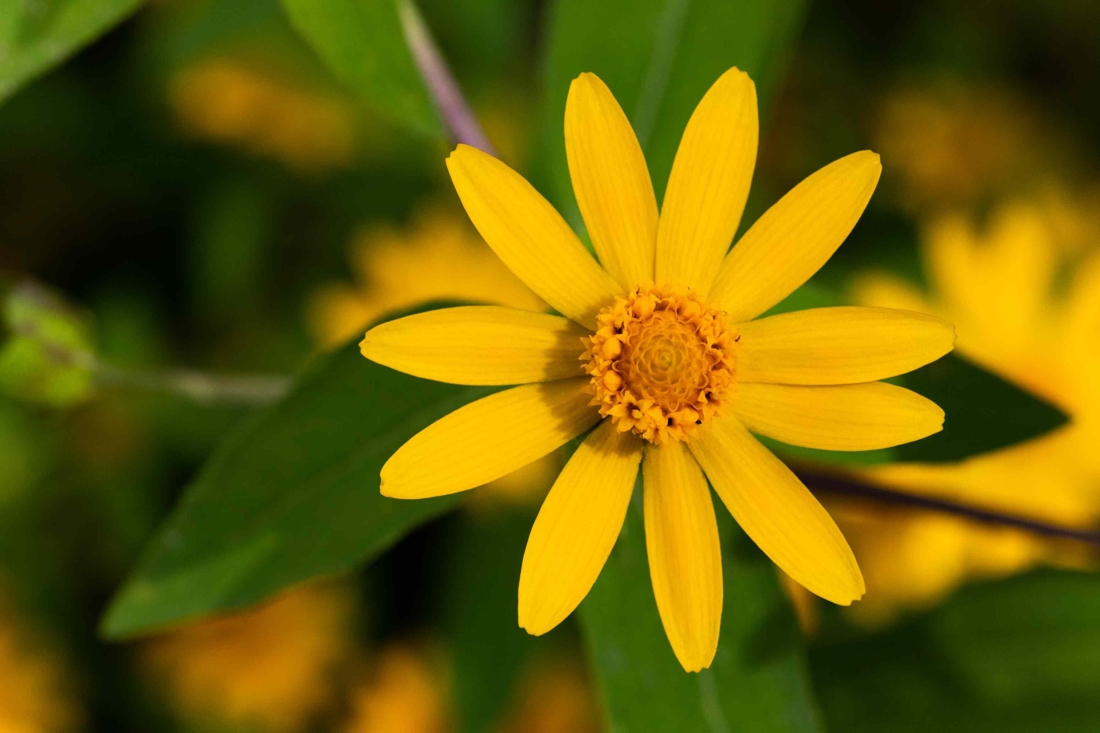 closeup of melampodium flower