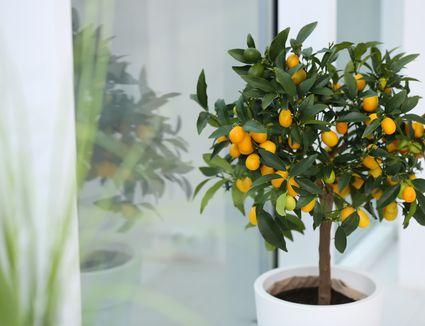 Potted kumquat tree near window indoors. Interior design