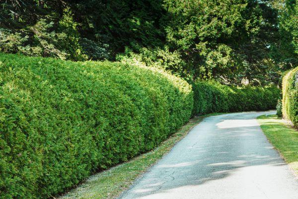hedges along a paver