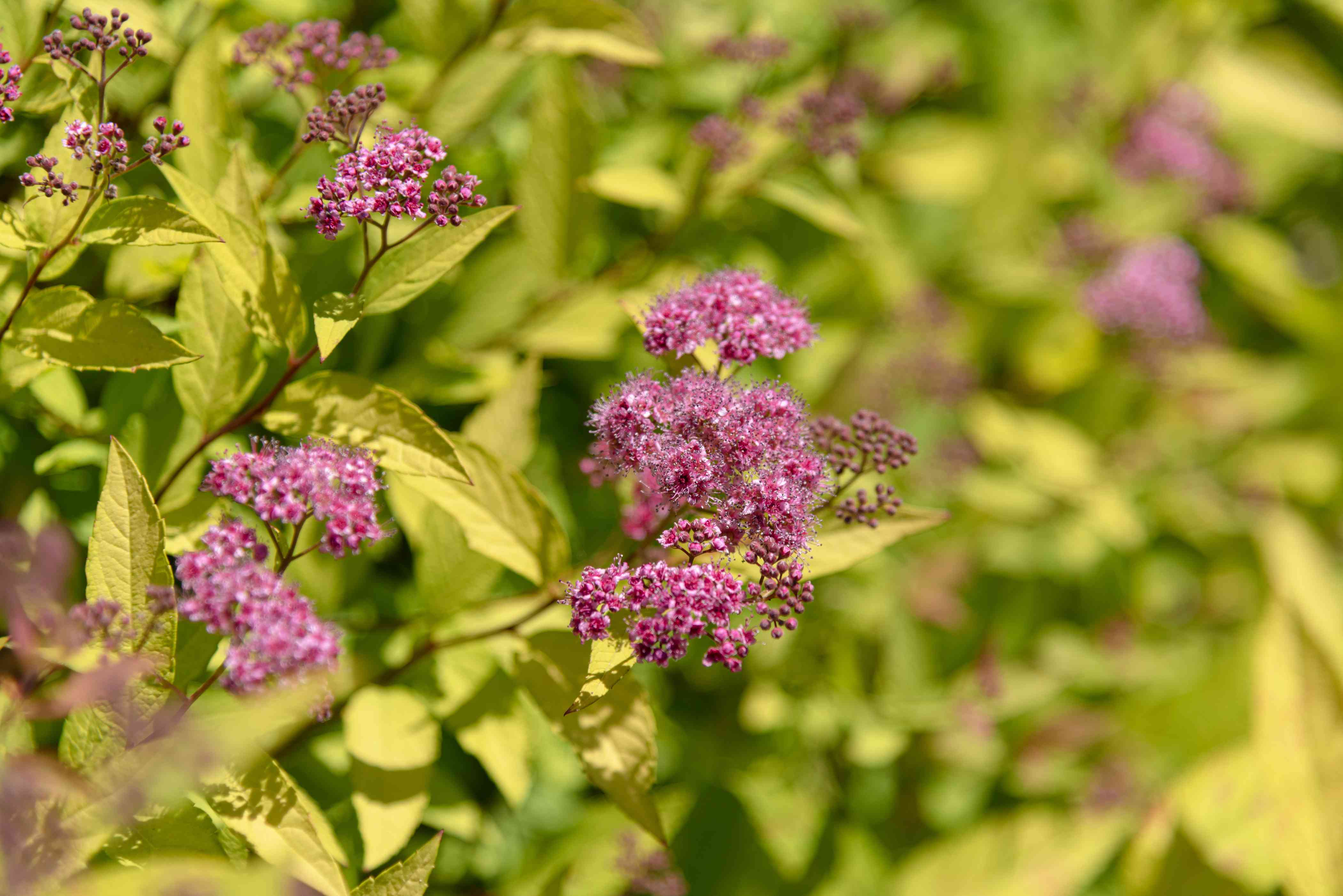 Gold mound spirea plant with small pink flower clusters closeup