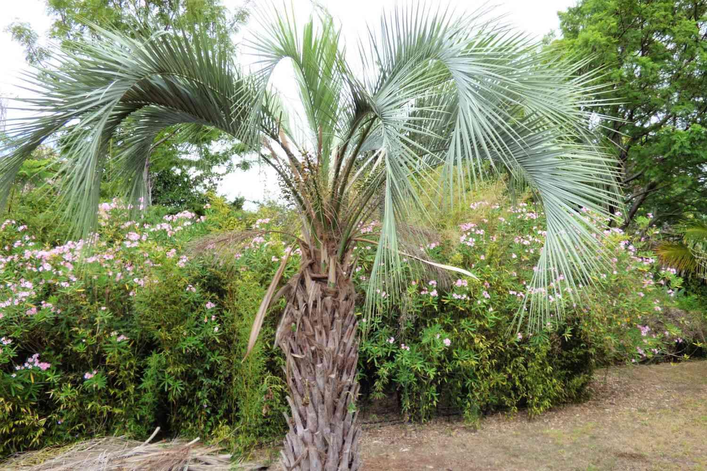 palmera jalea