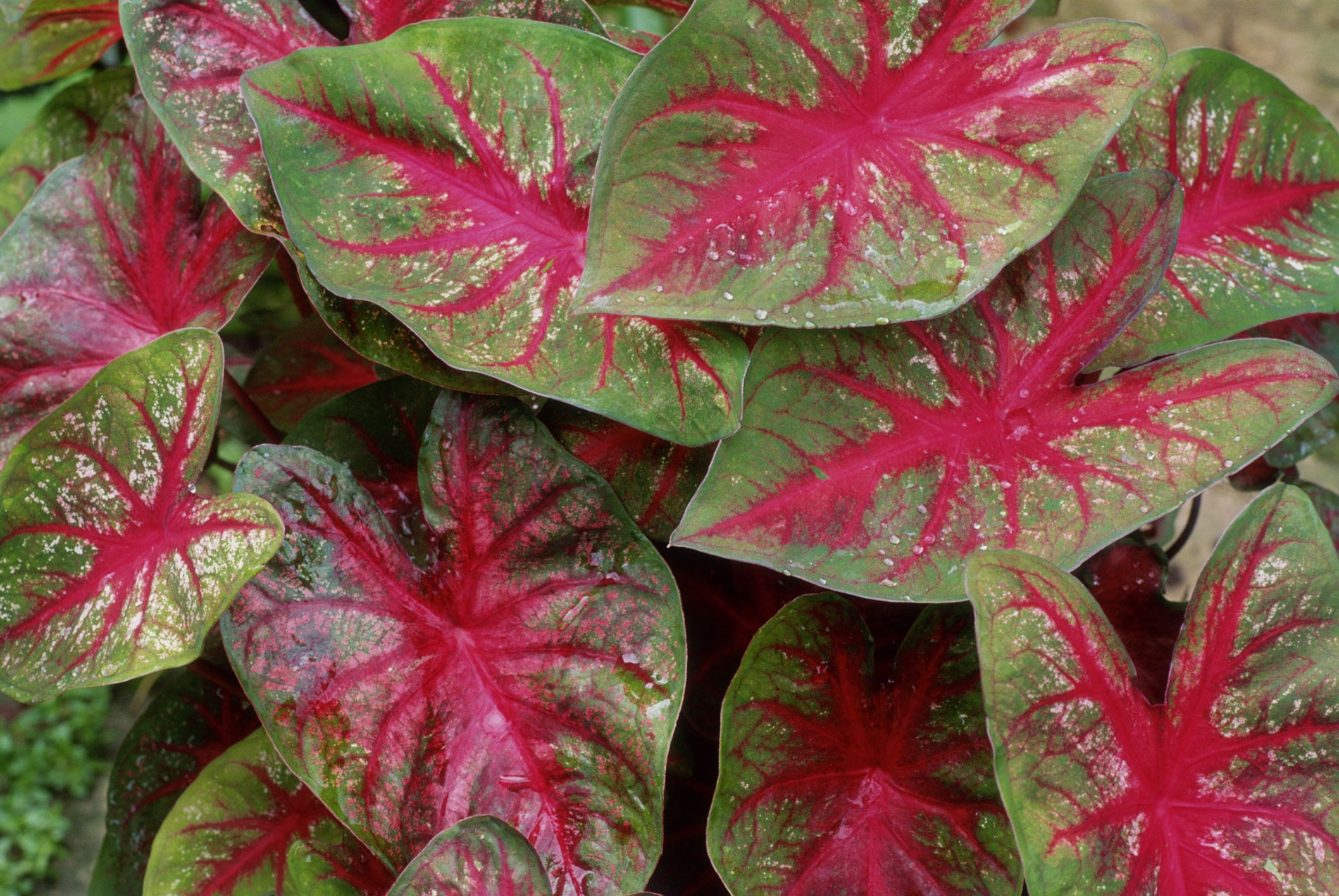 Caladiums Tropical Perennials For Every Shade Garden