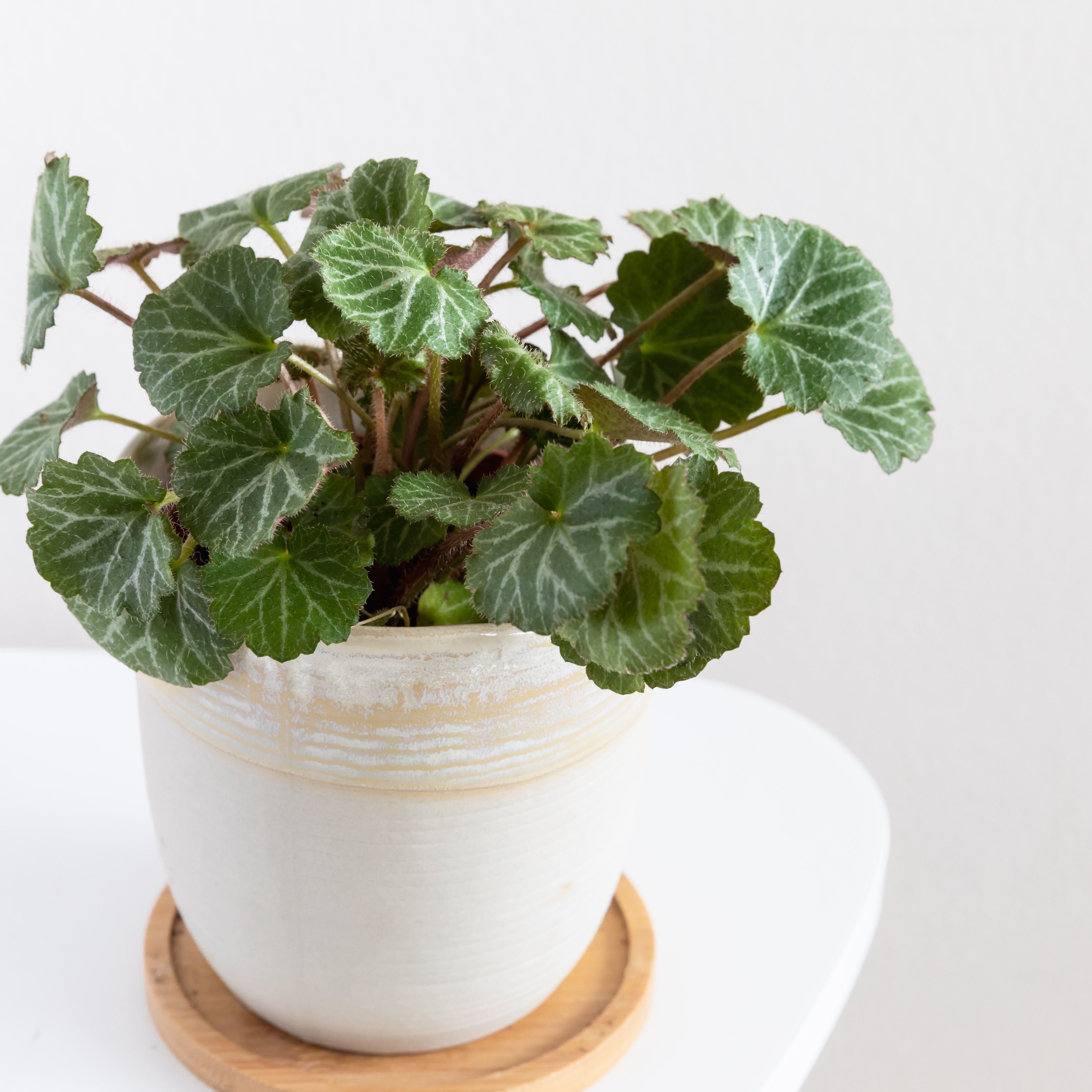 How To Grow Strawberry Begonia Indoors
