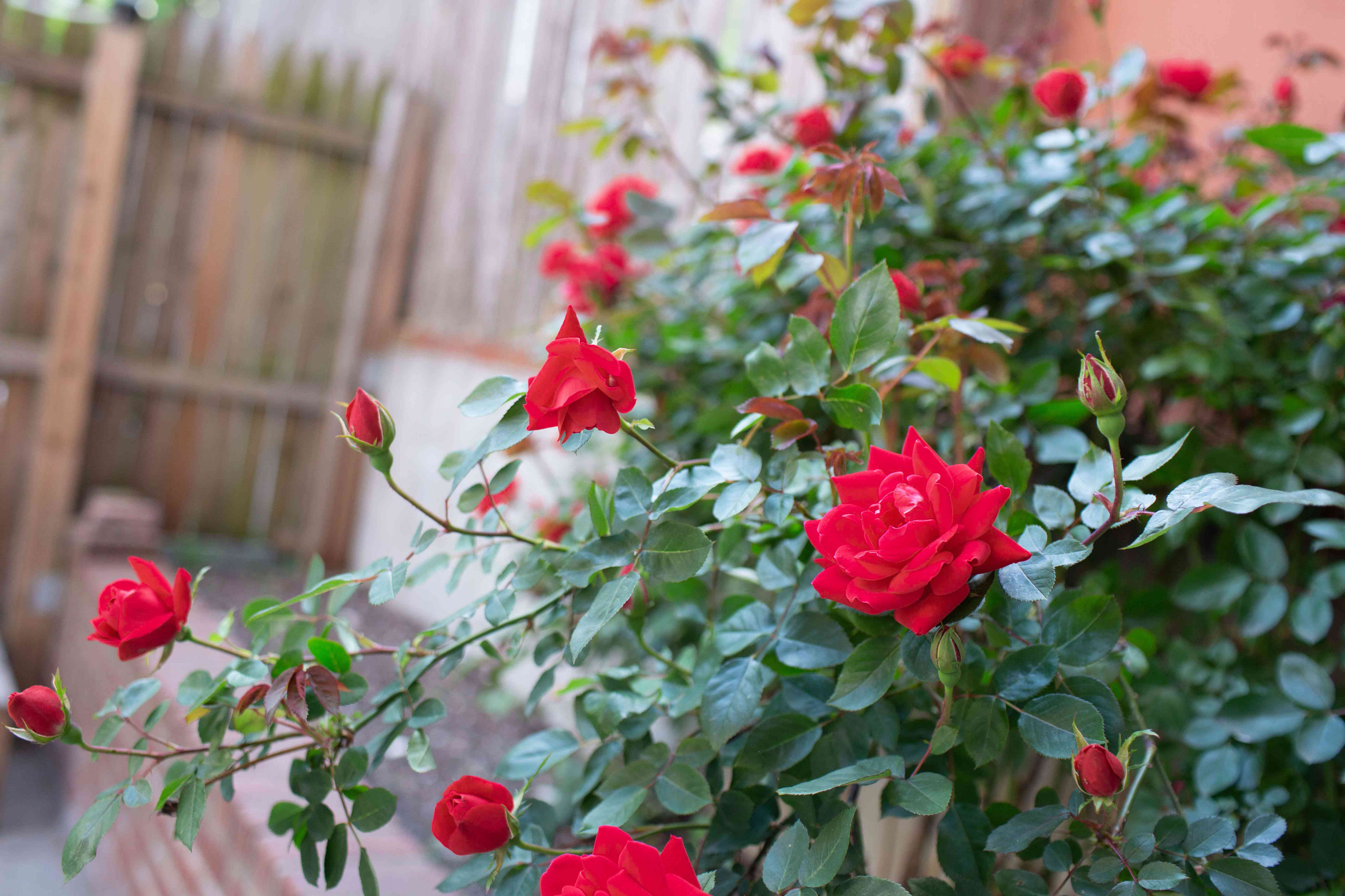 Red rose bush with vibrant red flowers inside fenced yard
