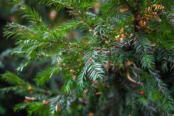 Chinese yew tree branch with evergreen glossy needles and tiny red berries closeup