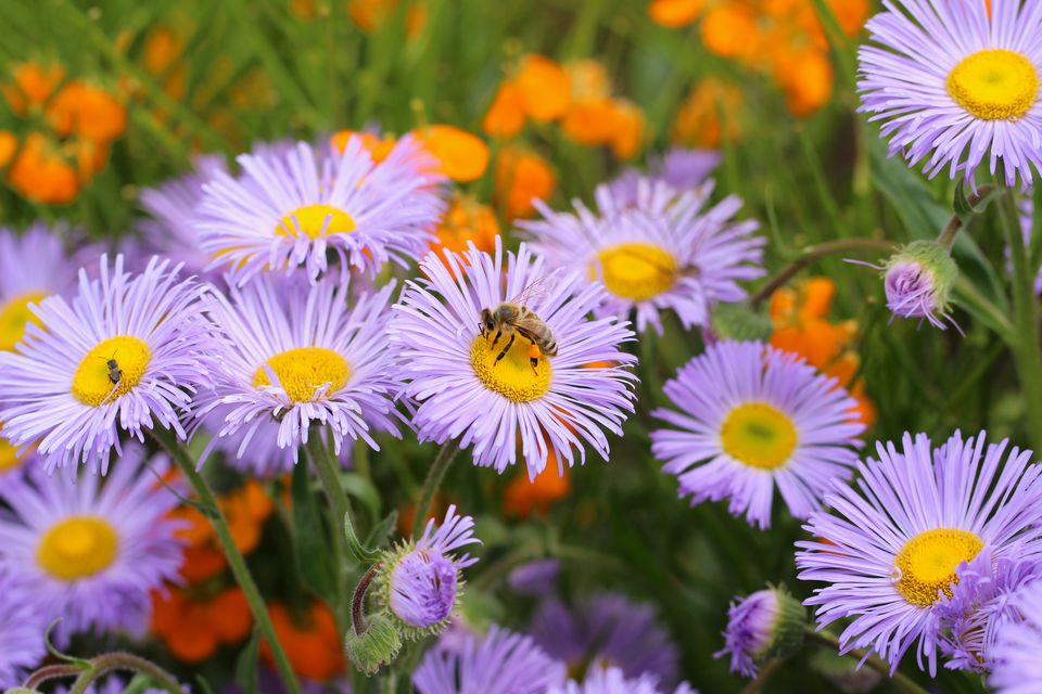 Busy bee on michaelmas daisy