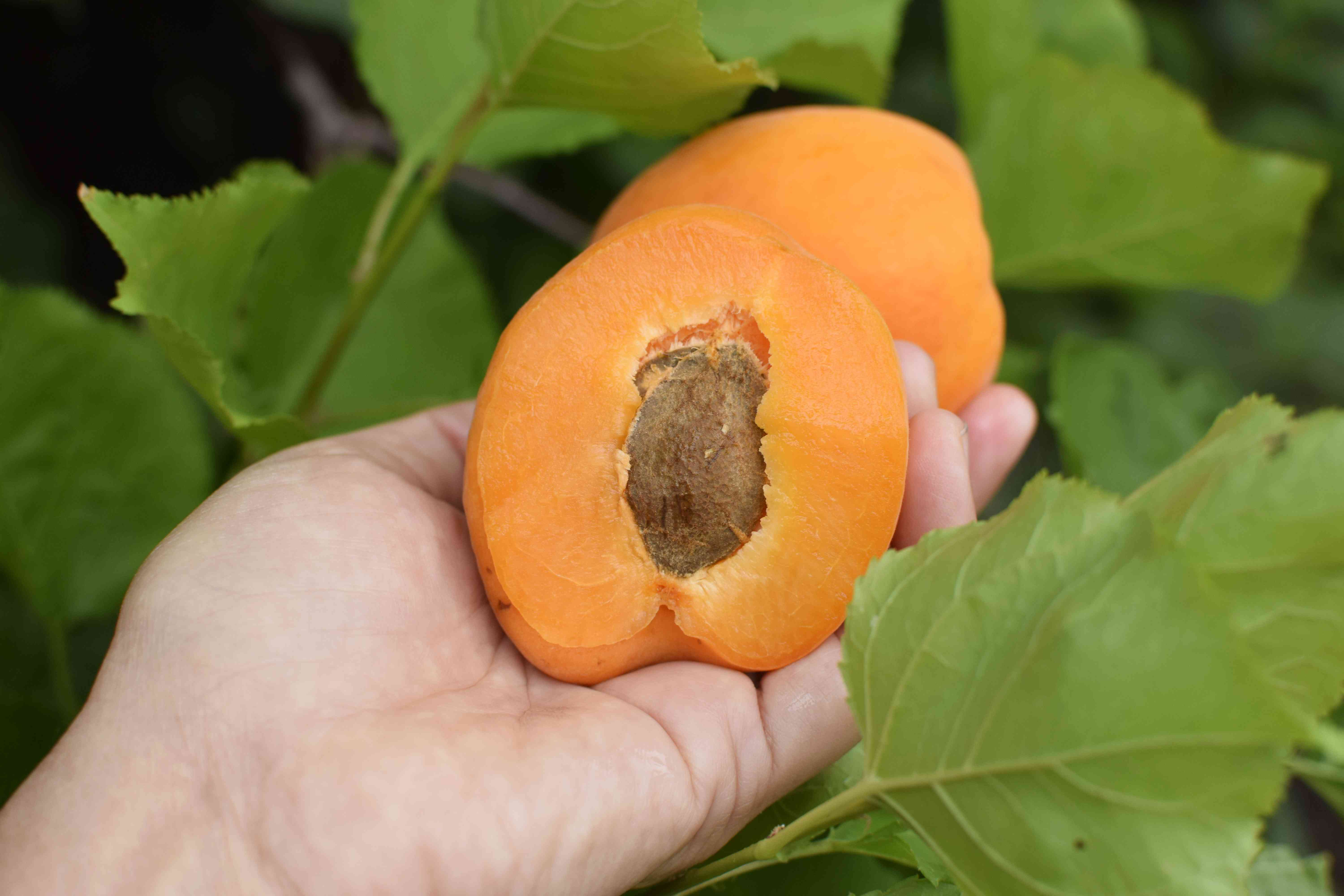 Orange apricot fruit held in hand with seed exposed