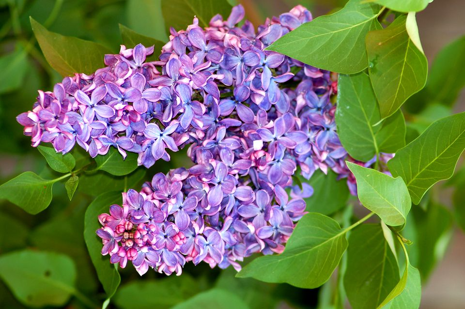 Lilacs on a bush