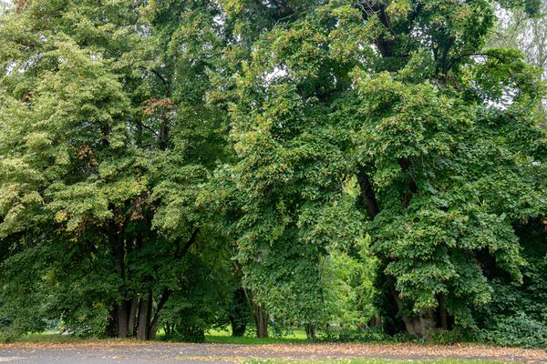 Basswood tree with long extending branches full of green leaves in wooded area