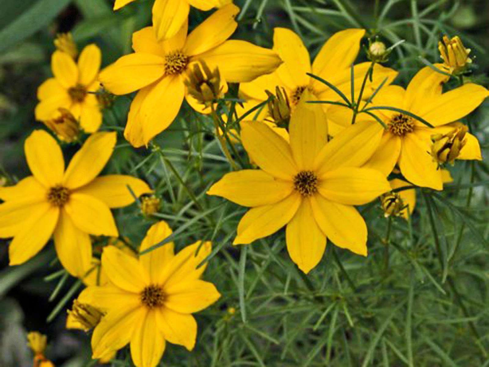 'Golden Showers' coreopsis with yellow flowers