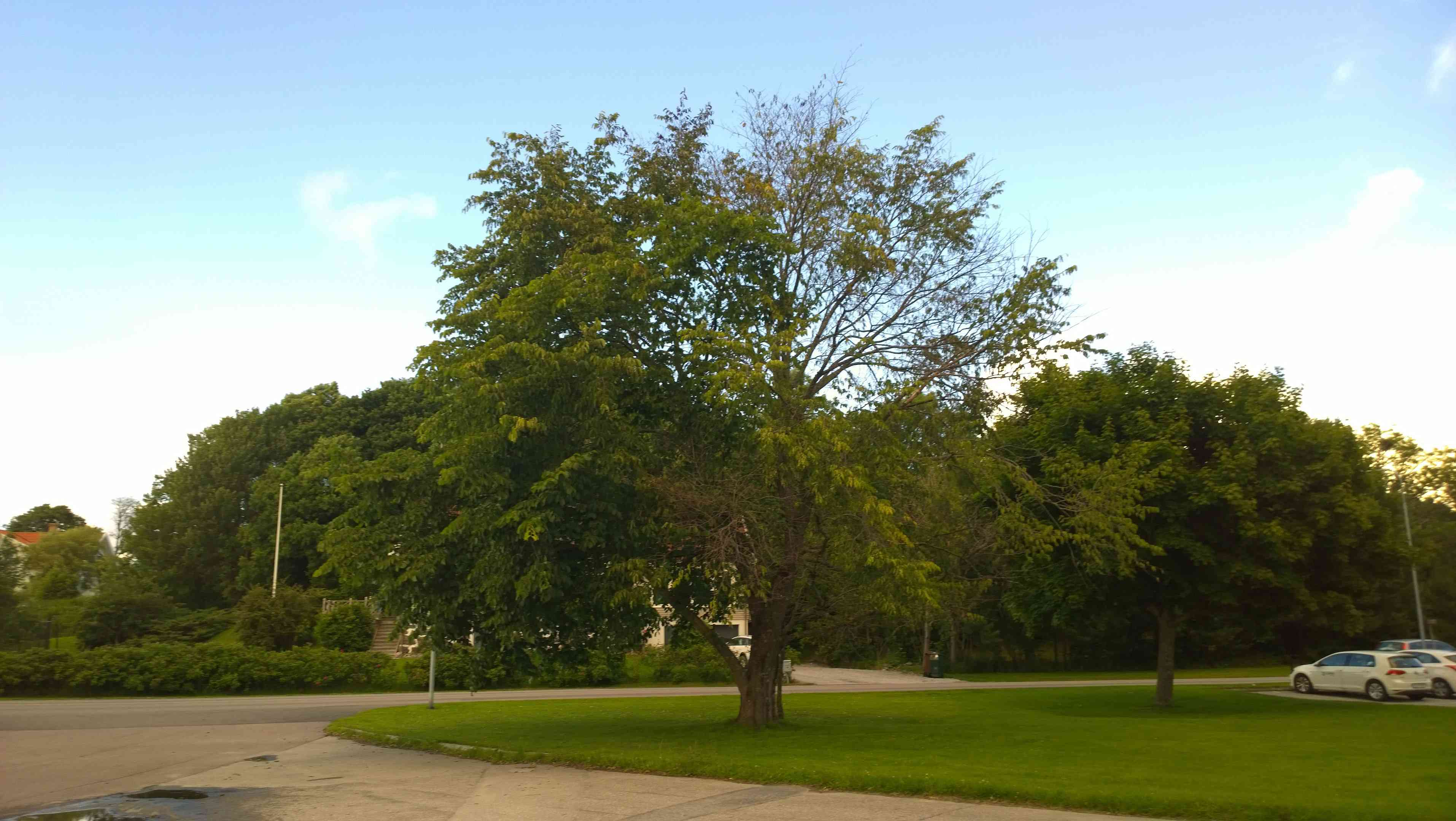 Elm tree with Dutch elm disease.