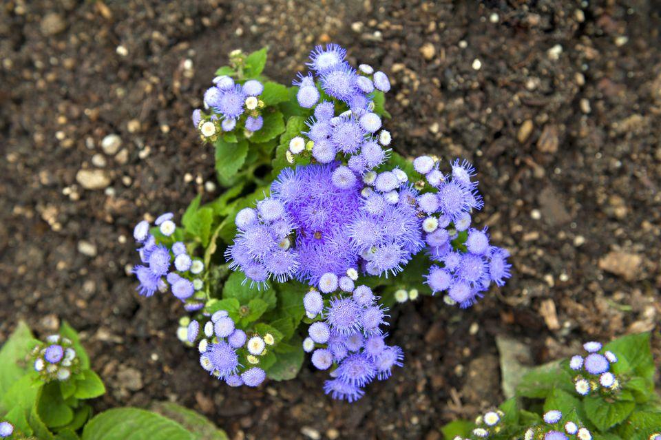 Blue mistflower plant (Conoclinium coelestinum) in garden