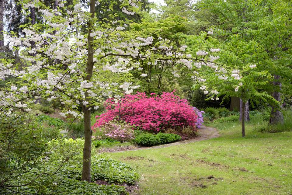 Carolina silverbell tree with white flowers in branches in front of shrub with pink flowers