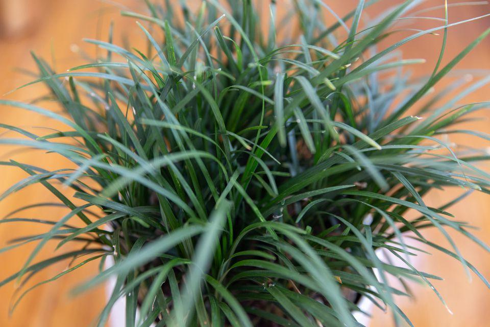 mondo grass growing indoors