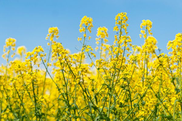 Black mustard herb plant with bright yellow flowers on thin stems against blue sky